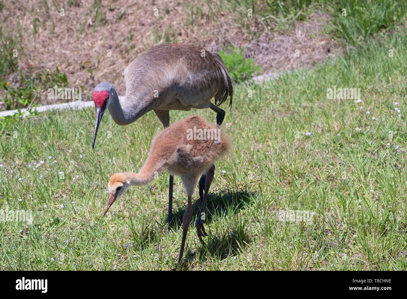 Florida Sandhill Crane Adult and Young Juvenile Walking Through Green Grassy Meadow - Stock Image