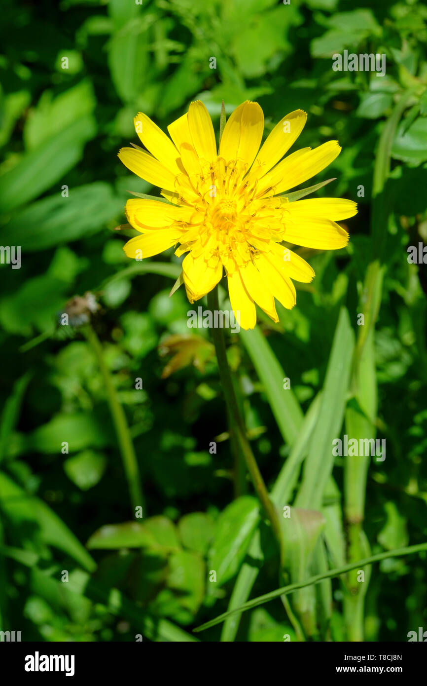 european hawkweed hieracium lachenalii bright yellow flowering weed growing in an overgrown garden zala county hungary Stock Photo