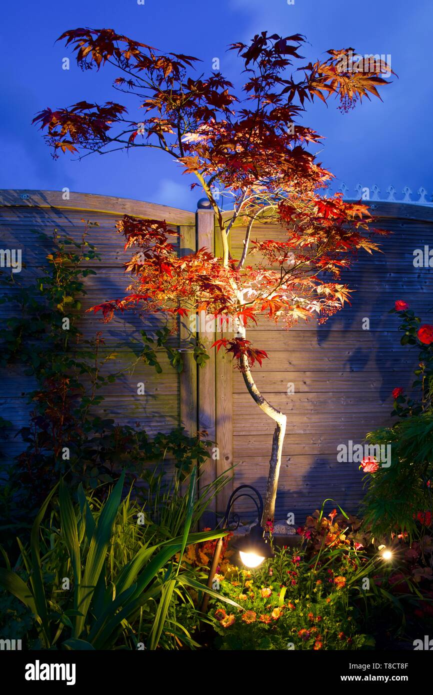 Japanese maple (Acer palmatum)  illuminated by garden lights - Stock Image