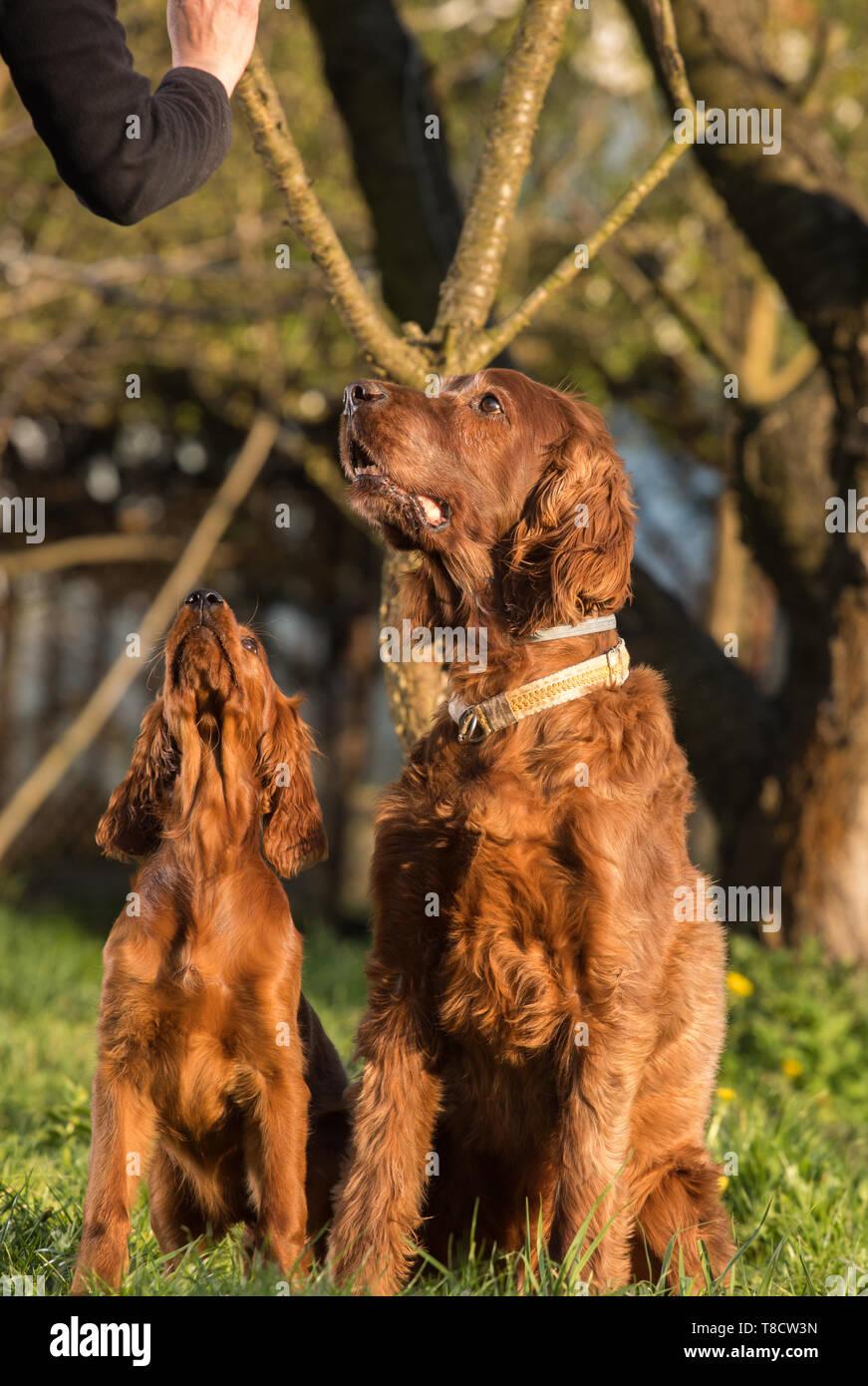 4dcead7c881 Irish Setter Dog Hunting Stock Photos & Irish Setter Dog Hunting ...