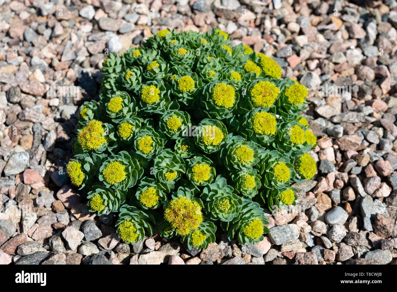 Rhodiola Rosea or Rock Rose growing at Dunnet Bay Distillery in Caithness on  the North Coast 500 scenic driving route in northern Scotland, UK - Stock Image