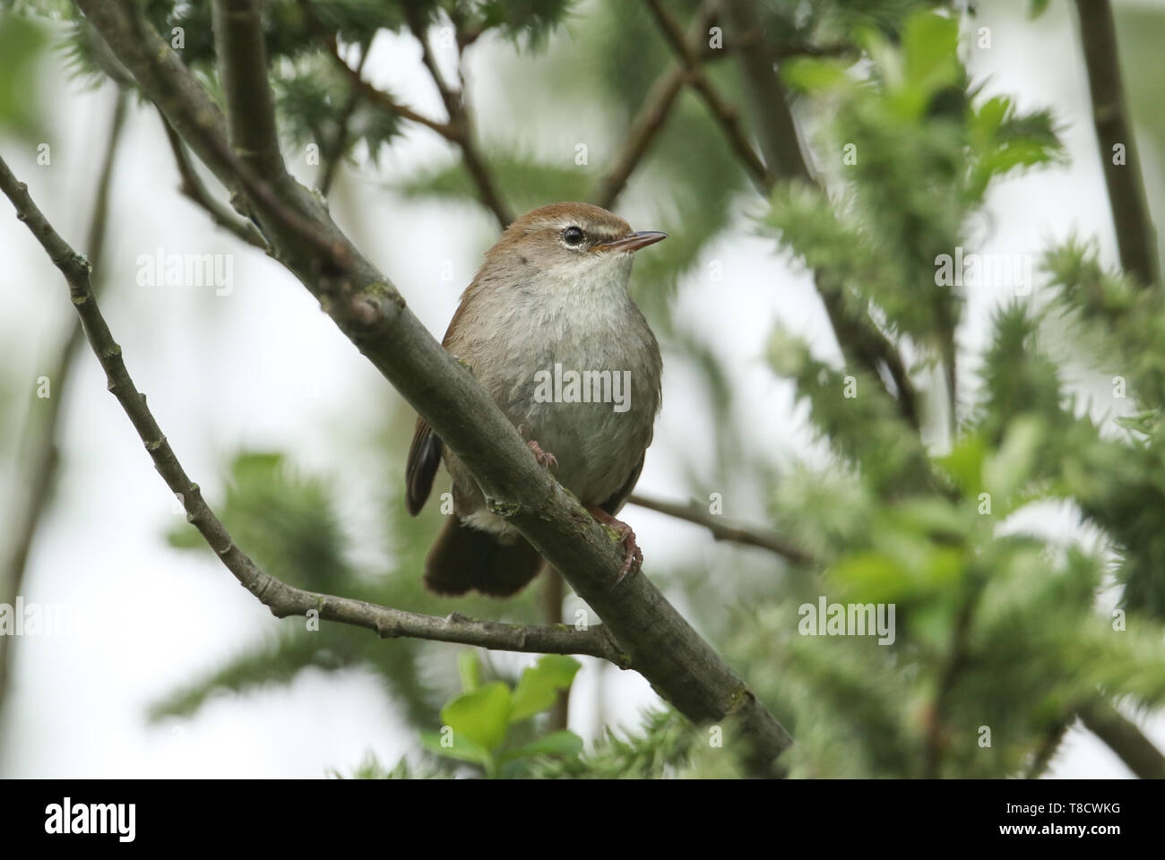 A shy and elusive Cetti's Warbler (Cettia cetti) perched on a branch in a tree. - Stock Image