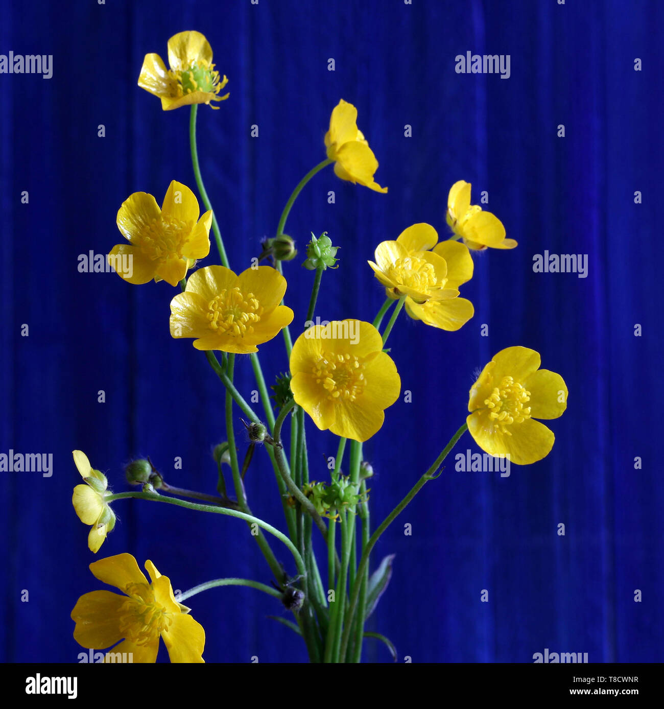 Bouquet of yellow wild flowers on blu background - Stock Image