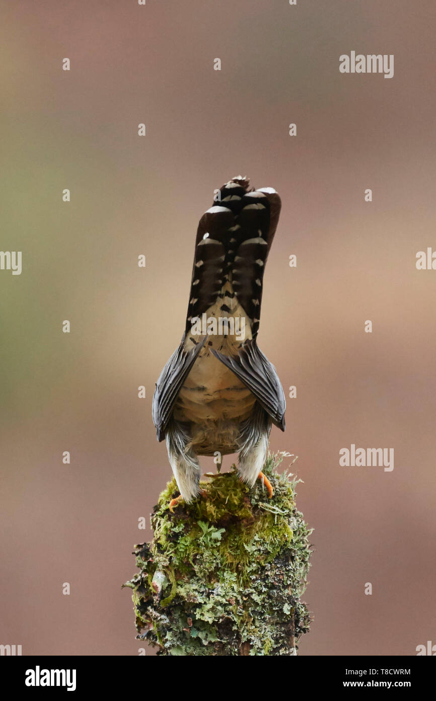 Male Common Cuckoo, Cuculus canorus, Dumfries and Galloway, Scotland, UK - Stock Image