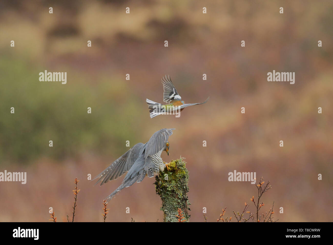 Male Common Cuckoo, Cuculus canorus, mobbed by male Common Chaffinch, Fringilla coelebs, Dumfries and Galloway, Scotland, UK - Stock Image