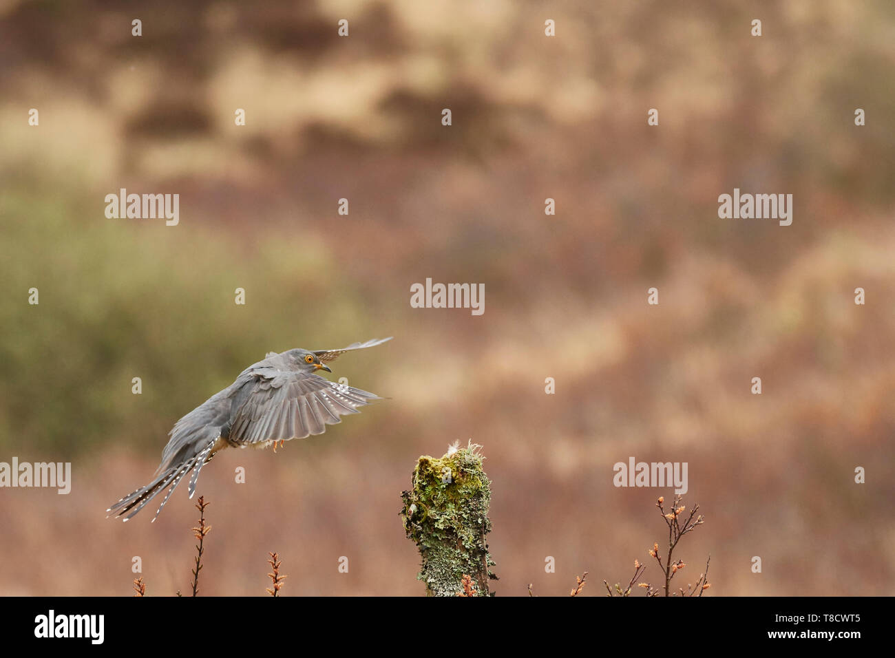 Male Common Cuckoo, Cuculus canorus, in flight, Dumfries and Galloway, Scotland, UK - Stock Image