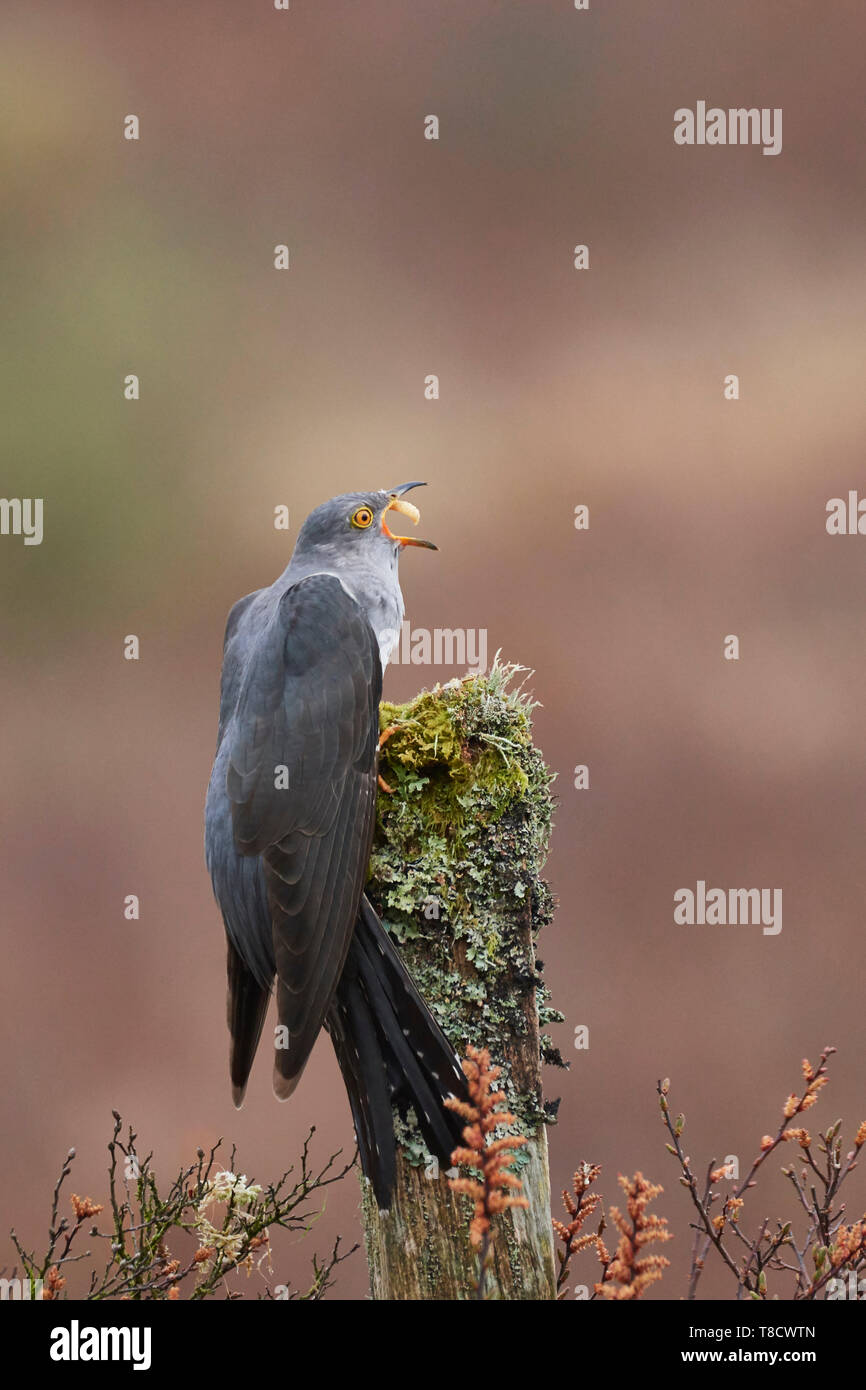 Male Common Cuckoo, Cuculus canorus, eating caterpillar, Dumfries and Galloway, Scotland, UK - Stock Image