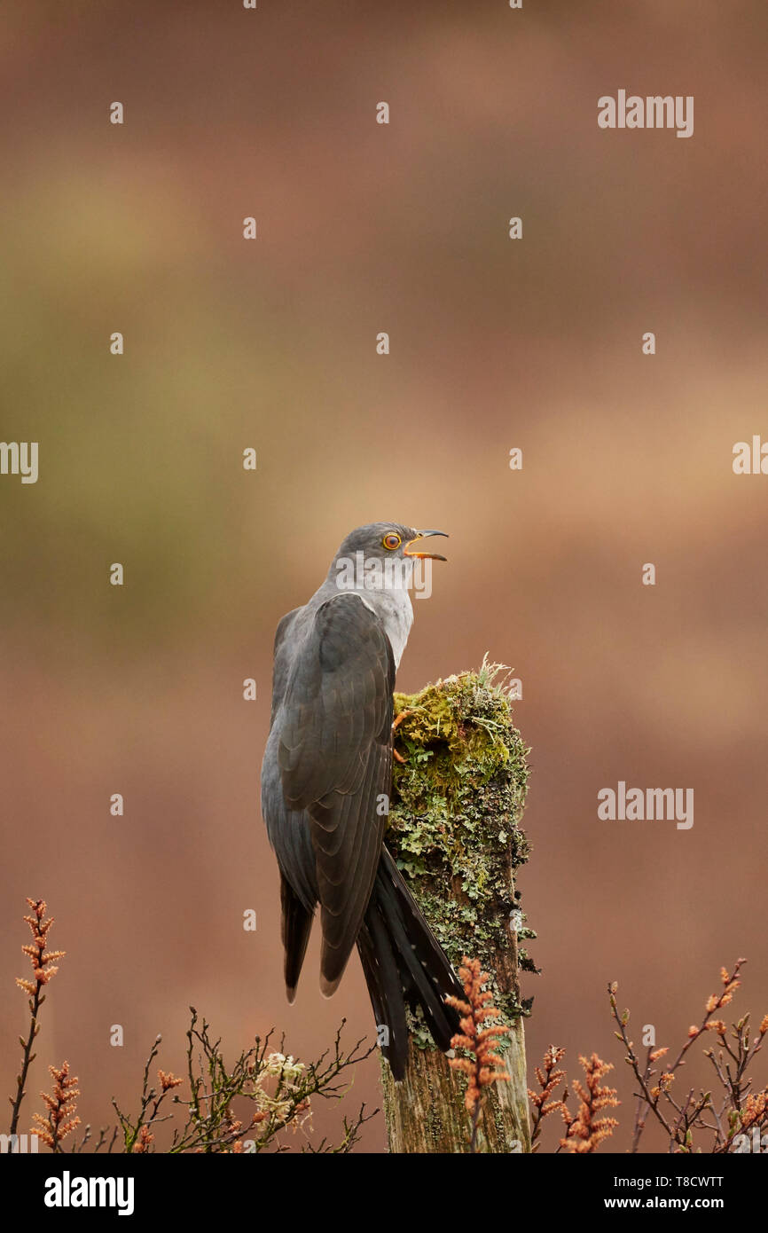 Male Common Cuckoo, Cuculus canorus, calling from post, Dumfries and Galloway, Scotland, UK - Stock Image