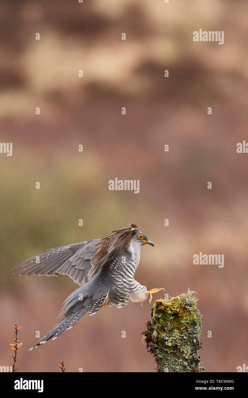Male Common Cuckoo, Cuculus canorus, landing on post, Dumfries and Galloway, Scotland, UK - Stock Image
