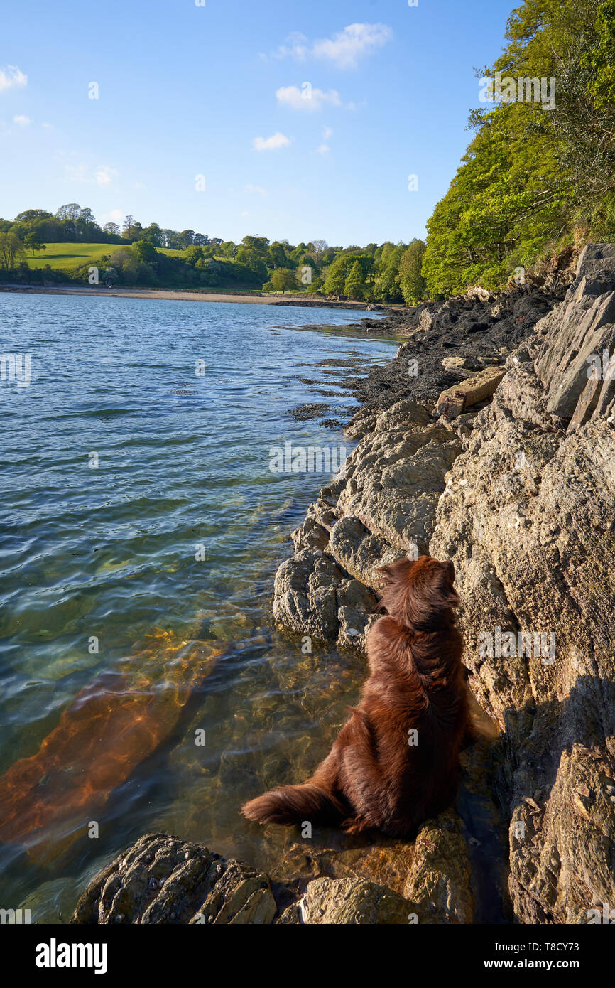 Newfoundland dog cooling off at the edge of The River Fal, Cornwall - Stock Image
