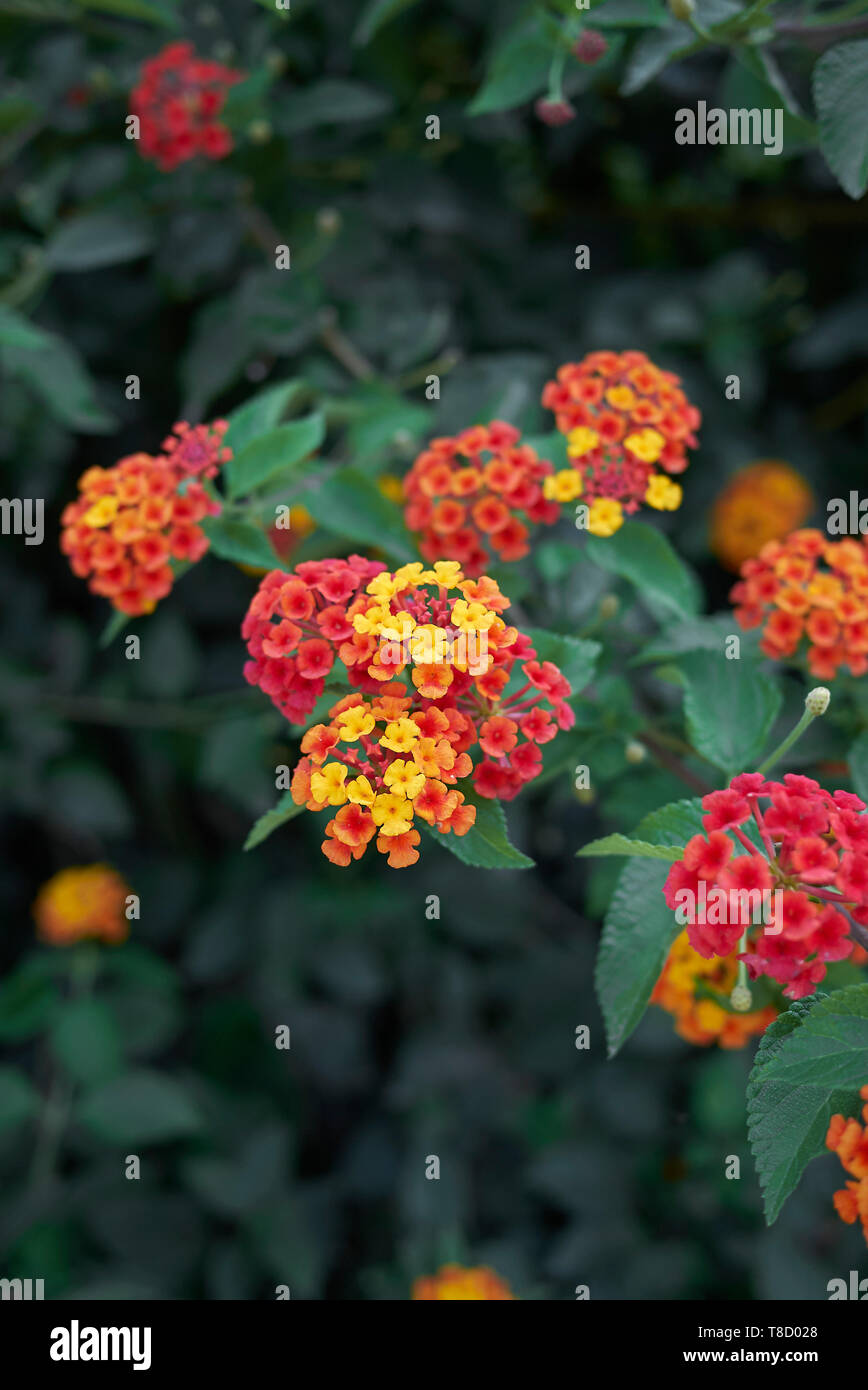 colorful flowers of Lantana camara shrub in summer Stock Photo