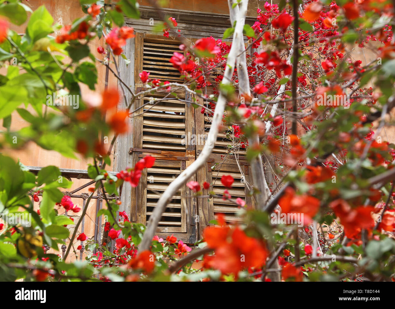 old wooden window and blooming bougainvillea flowers at Nafplio Argolis Greece - Stock Image