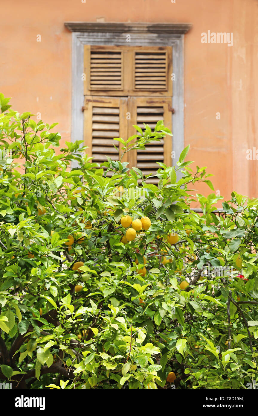 traditional wooden window behind a lemon tree Nafplio Greece - Stock Image