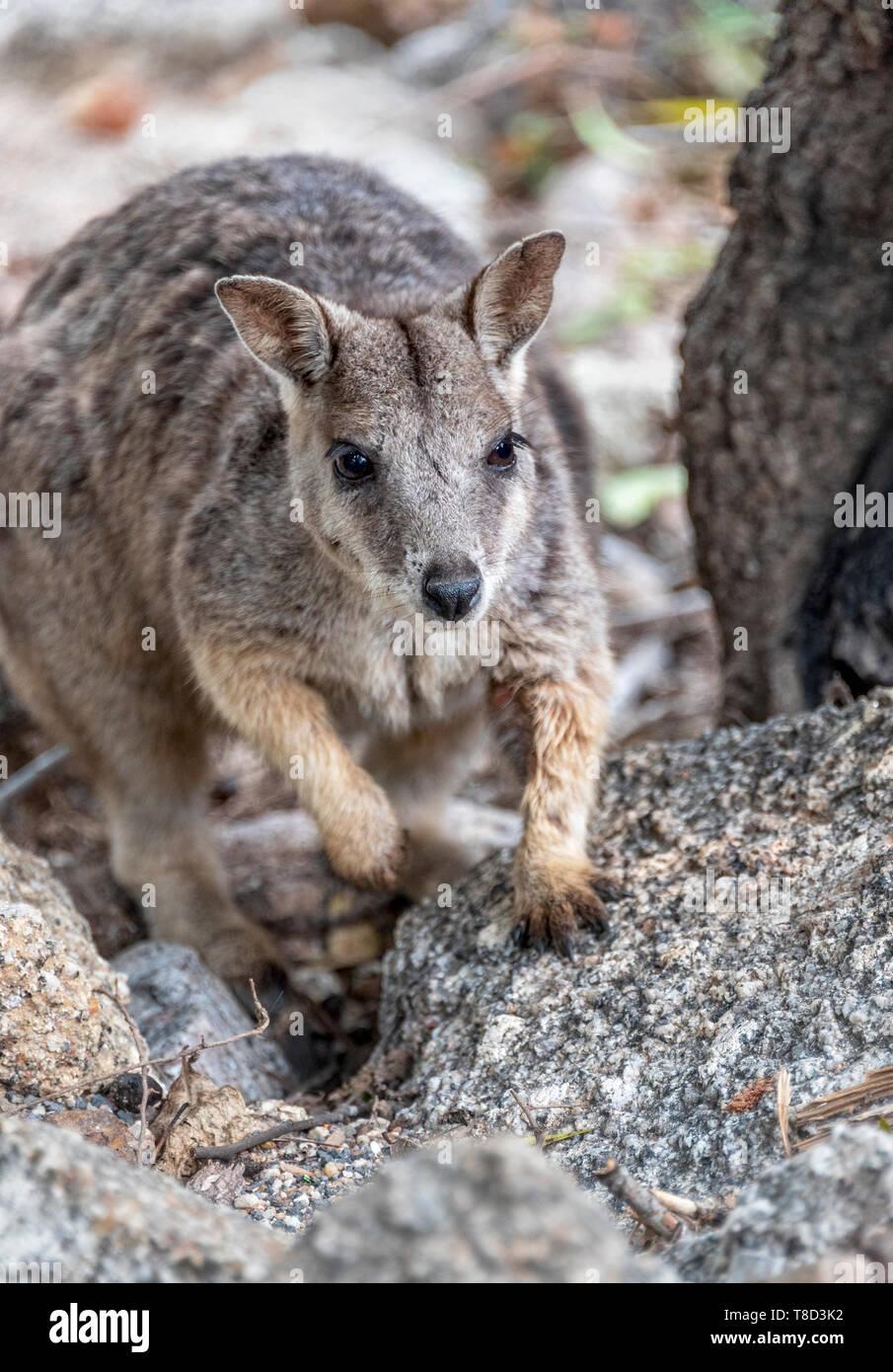 Unadorned rock wallaby at Granite gorge Stock Photo