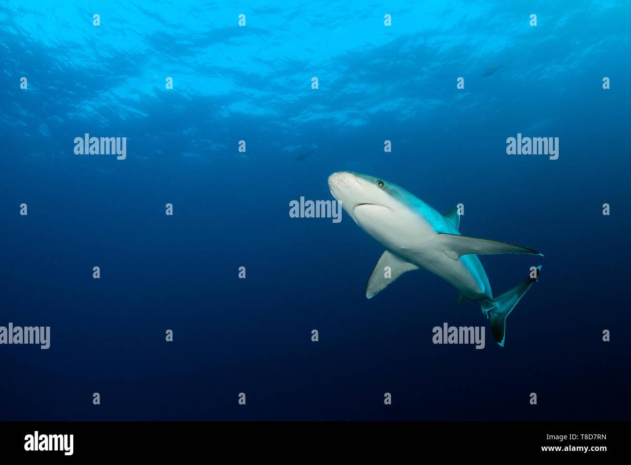 Elegant silvertip shark (Carcharhinus albimarginatus) swimming through an underwater scenery of Revillagigedo Archipelago - Stock Image