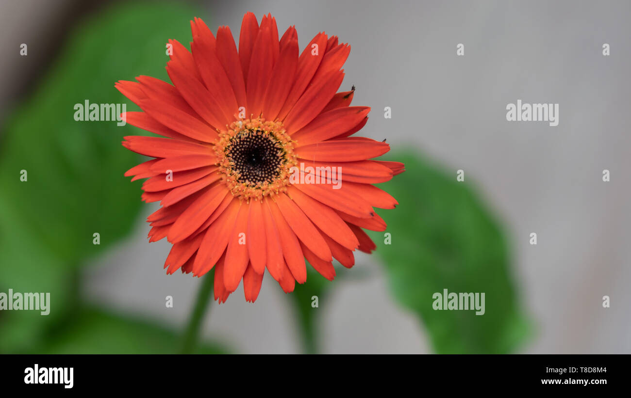 Blood Orange  Gerber Daisy (Gerbera jamesonii) with Green foliage and on a blurred background. - Stock Image