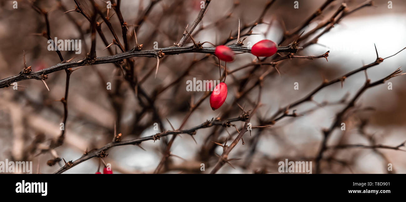 Thorn Bush With Red Berries In The Winter Stock Photo 246154833