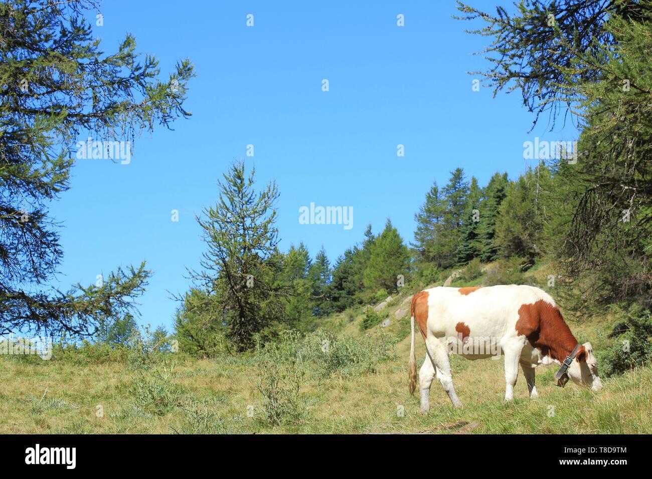 France, Hautes Alpes, Haut Champsaur, Ancelle, Col de Moissiere, cows at liberty in high mountain pastures Stock Photo