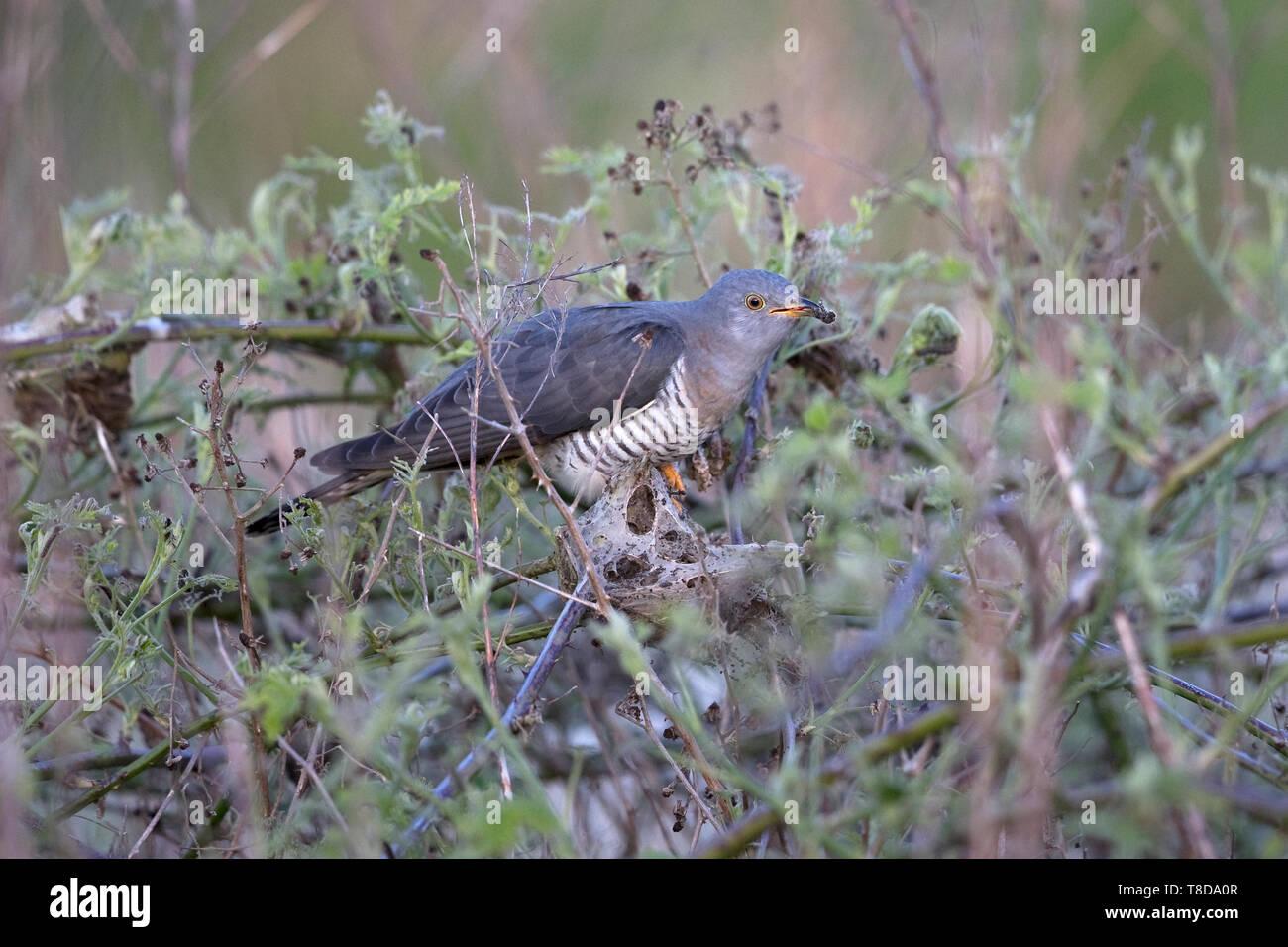 Common Cuckoo (Cuculus canorus) - Stock Image