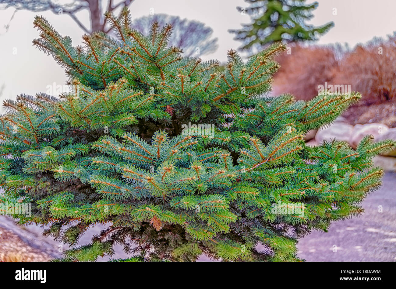 A young and healthy pine tree in a garden of a home. - Stock Image