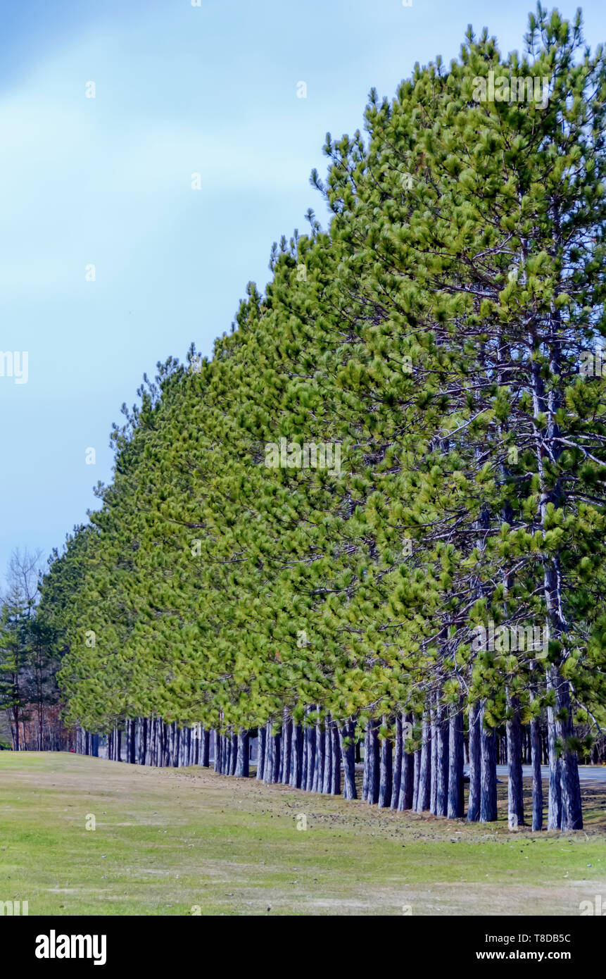 A row of pine trees next to a golf course in Michigan, USA. - Stock Image