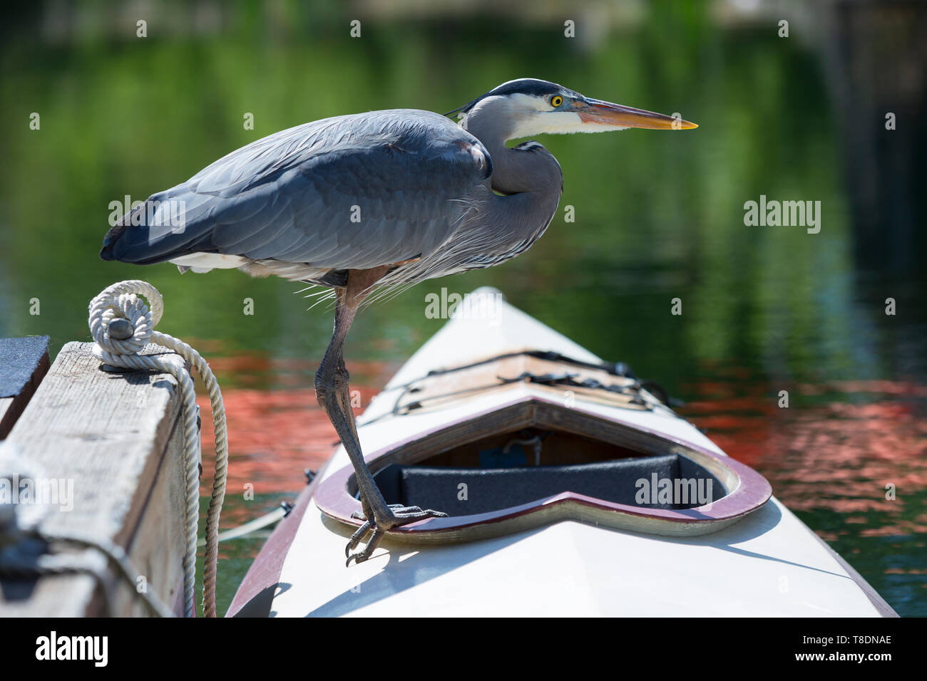 Seattle, Washington: A Great Blue Heron perches on a kayak at the Center for Wooden Boats in South Lake Union. - Stock Image