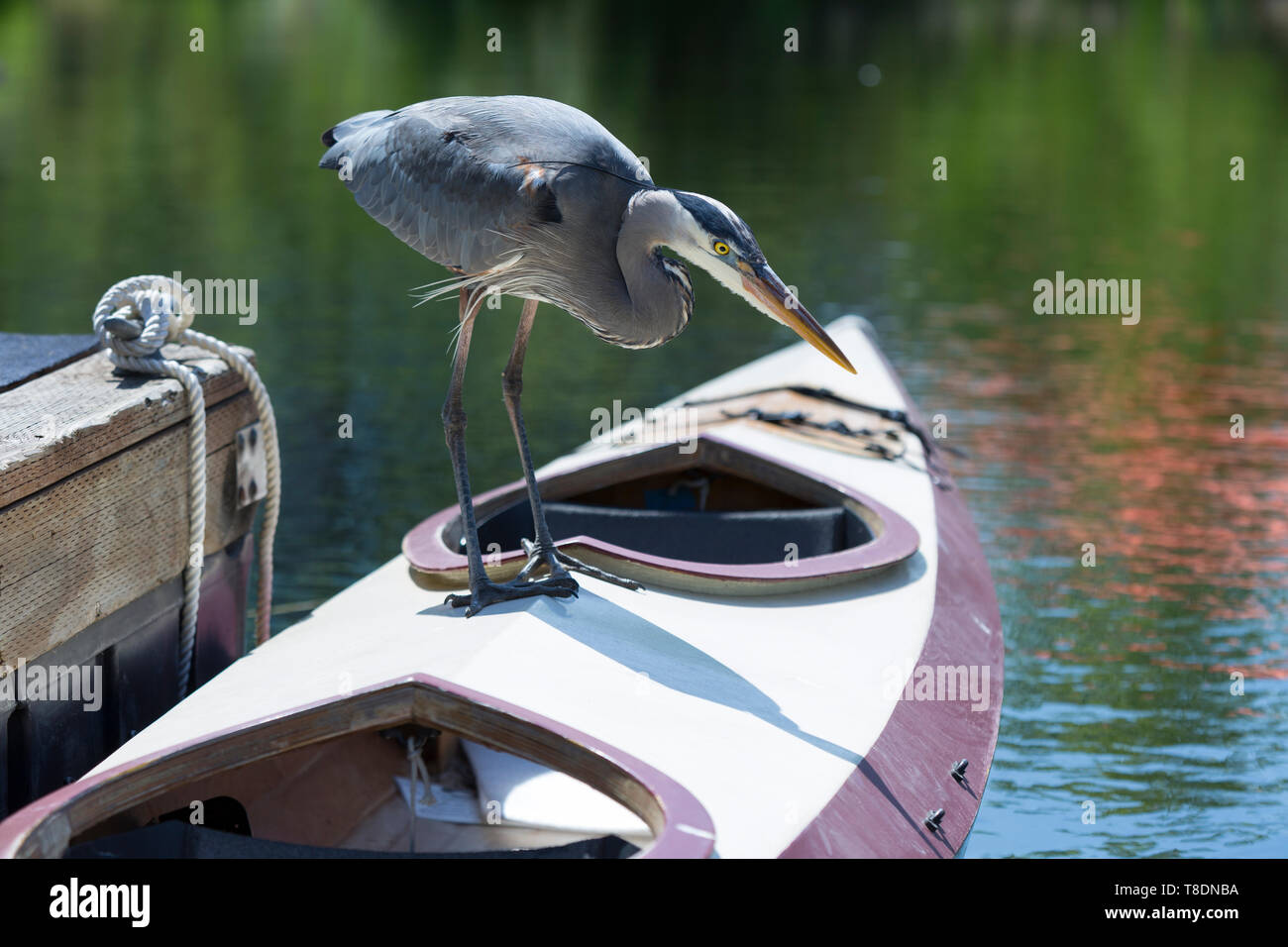 Seattle, Washington: A Great Blue Heron stalks prey while perched on a kayak at the Center for Wooden Boats in South Lake Union. - Stock Image