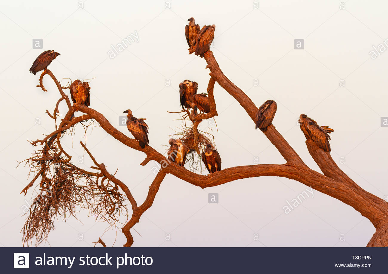 Griffon vultures Gyps fulvus  Accipitridae perched on bare tree branches back lit by sunset Amboseli National Park Kenya East Africa - Stock Image