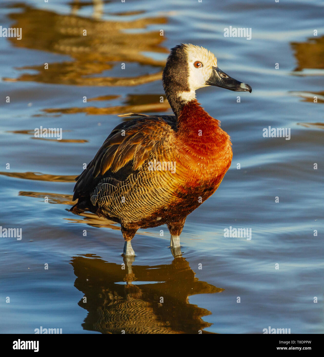 White-faced whistling duck, Dendrocygna viduata, standing in gentle ripple smooth water side view close-up Amboseli National Park Kenya East Africa - Stock Image