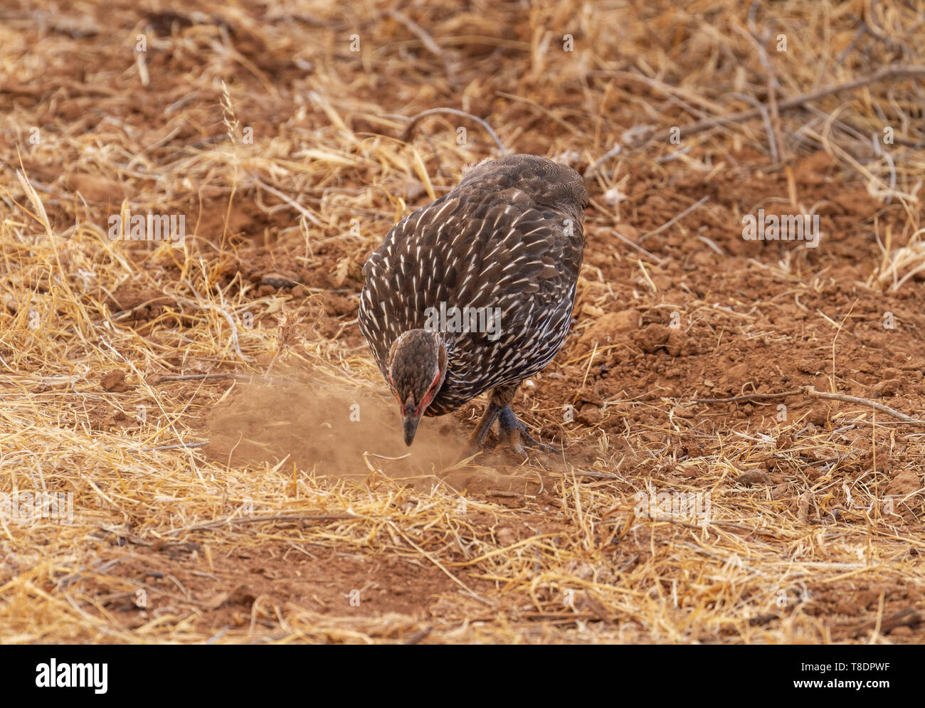 Yellow-necked francolin yellow-necked spurfow Pternistis leucoscepus digs earth with beak for food Samburu National Reserve Kenya East Africa - Stock Image