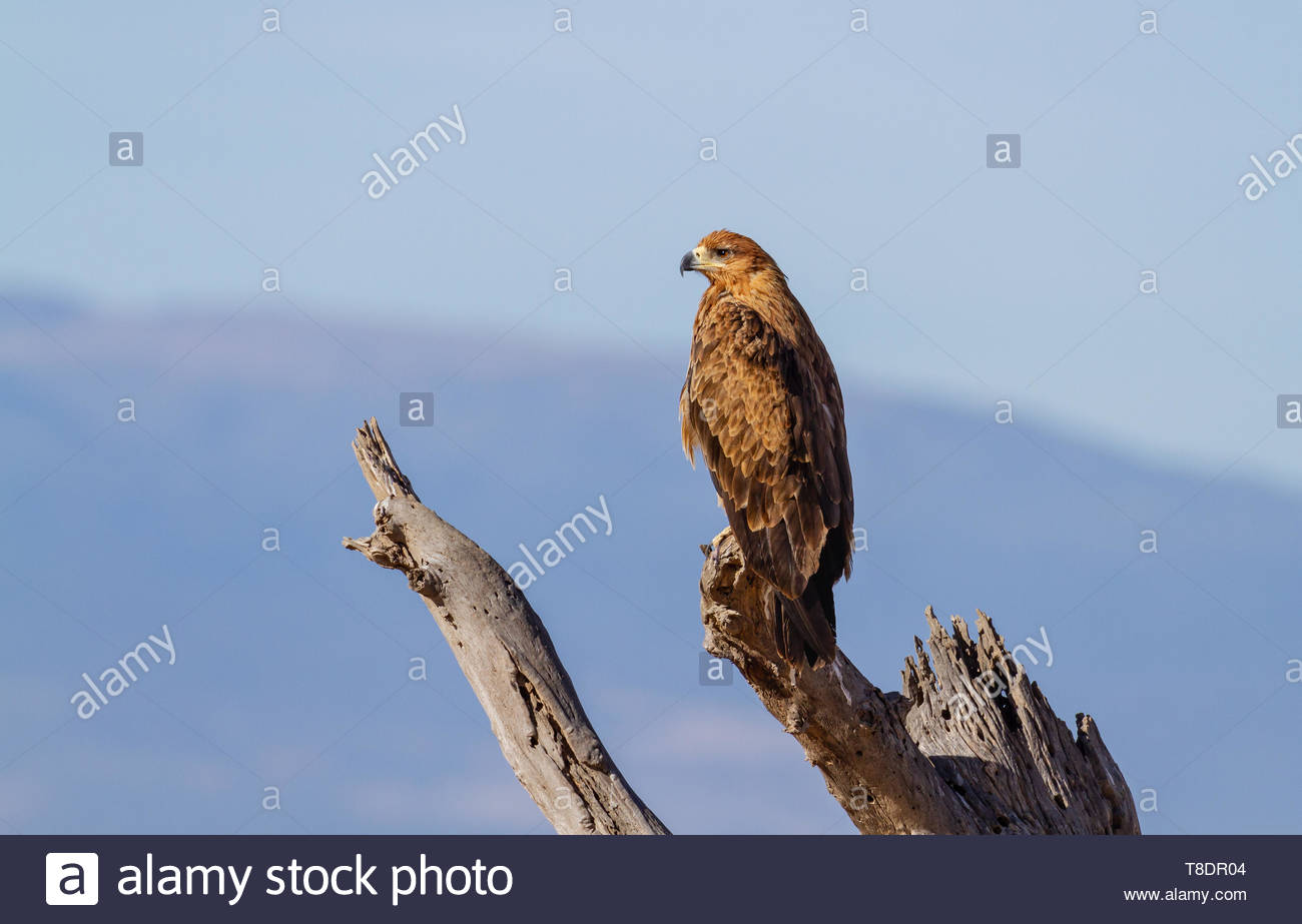 Side face eye beak profile tawny eagle Aquila rapax bird of prey perched top of tree branch blue sky mountain blurred background Ol Pejeta Conservancy - Stock Image