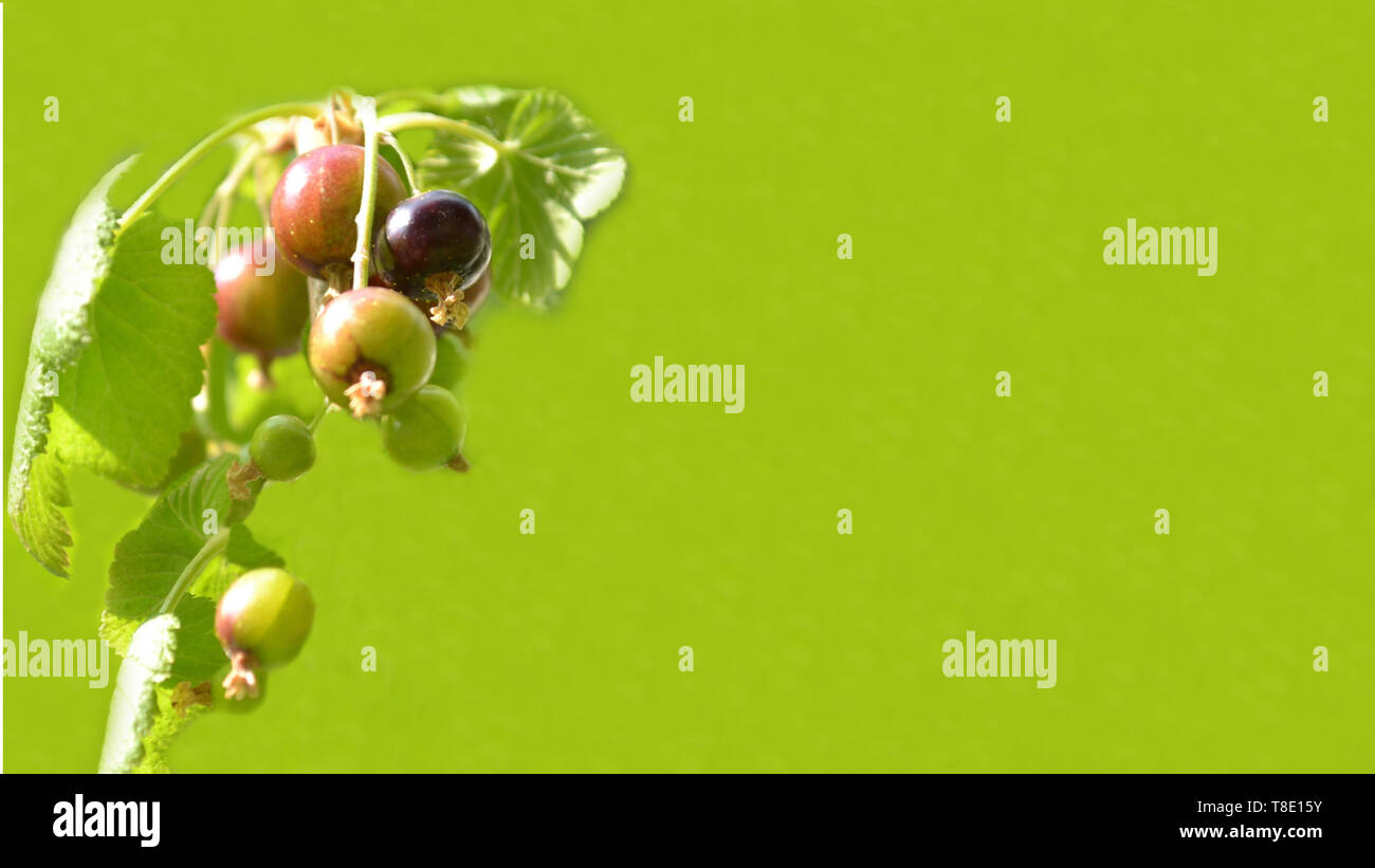 Blackcurrants ribes nigrum fruits on green natural background, banner for website with garden, health, weightloss or cooking concept with copy space. - Stock Image
