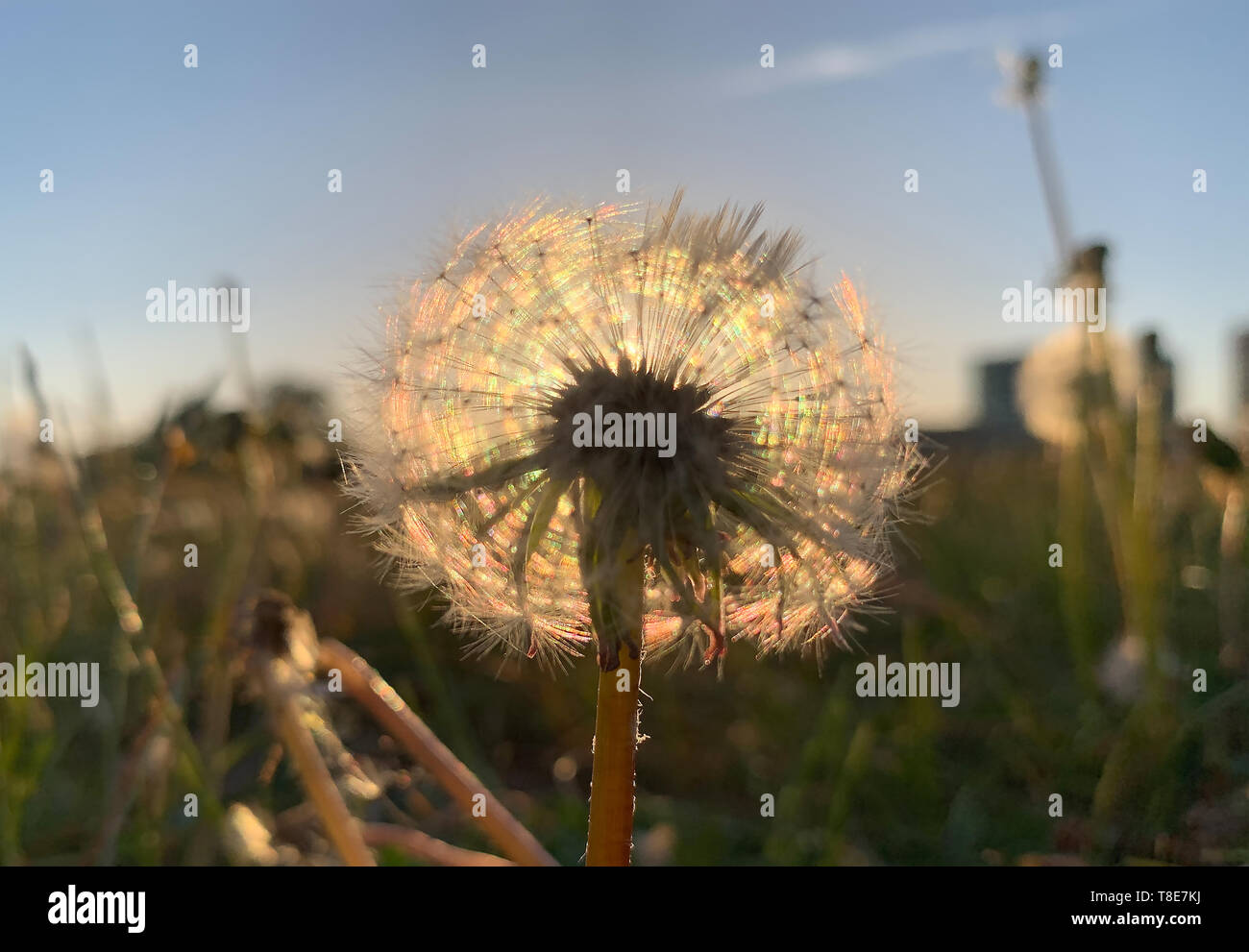 Berlin, Germany. 12th May, 2019. In the light of the setting sun a dandelion shines in the government quarter. Credit: Paul Zinken/dpa/Alamy Live News - Stock Image