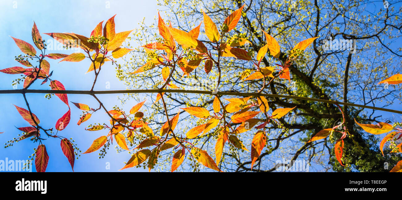 Branch of the Snakebark Maple (Acer davidii Karmen) Dinmore arboretum Herefordshire England UK. April 2019 - Stock Image