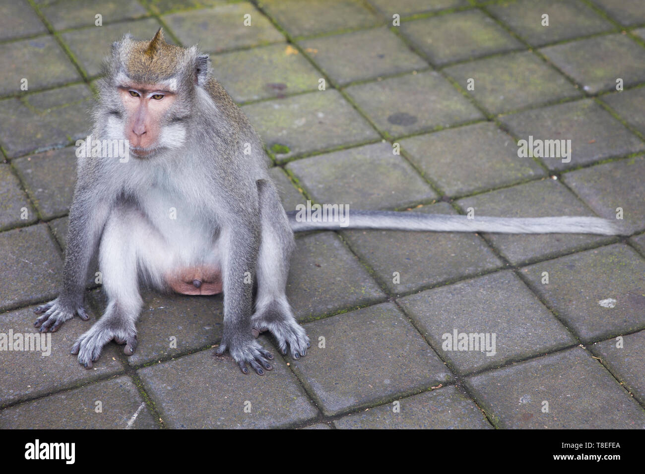Balinese long tailed monkey (Macaca fascicularis) in Sacred Monkey Forest Sanctuary at Bali, Indonesia - Stock Image