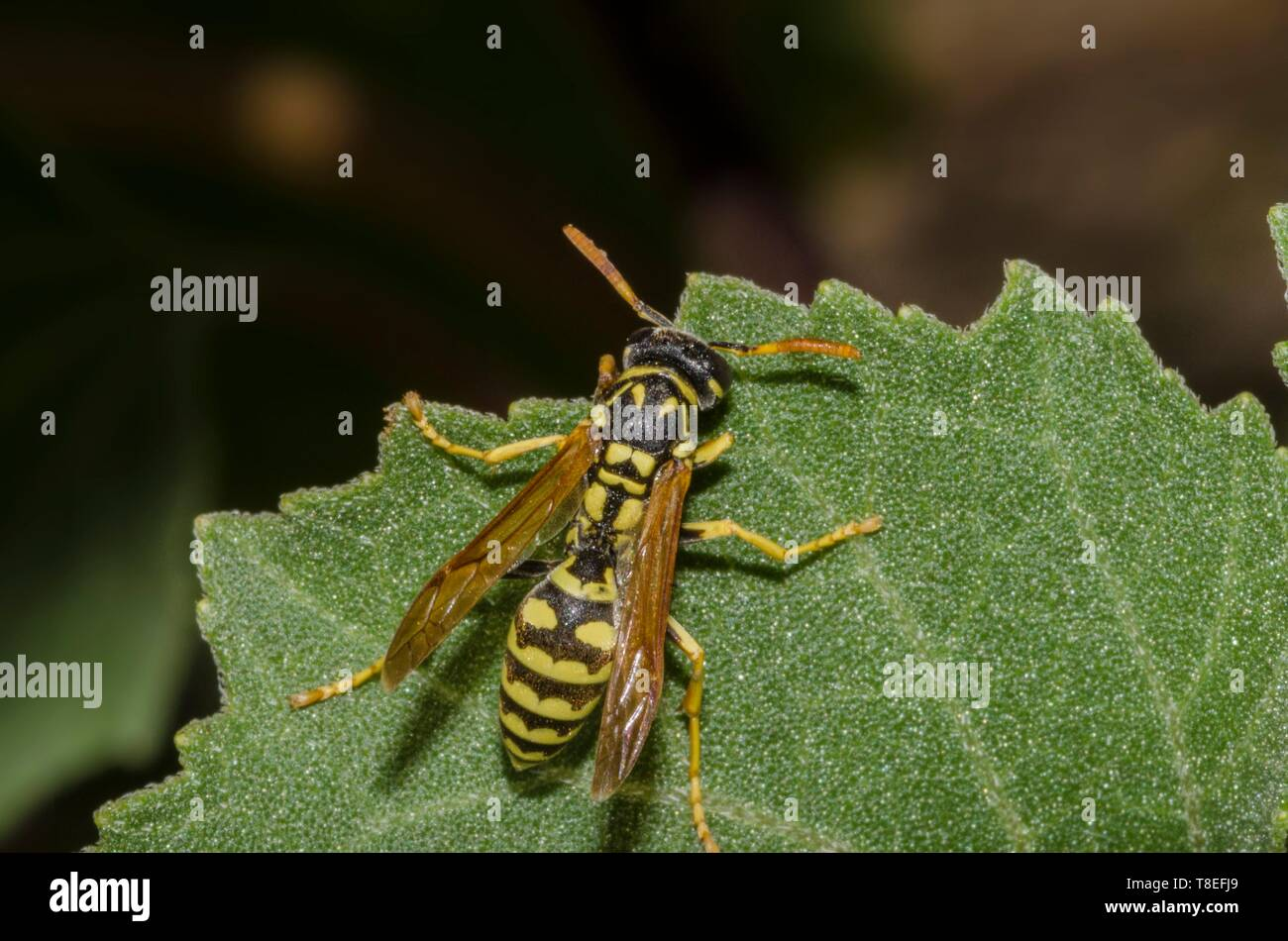 Specimen of wasp in the foreground on green leaf - Stock Image