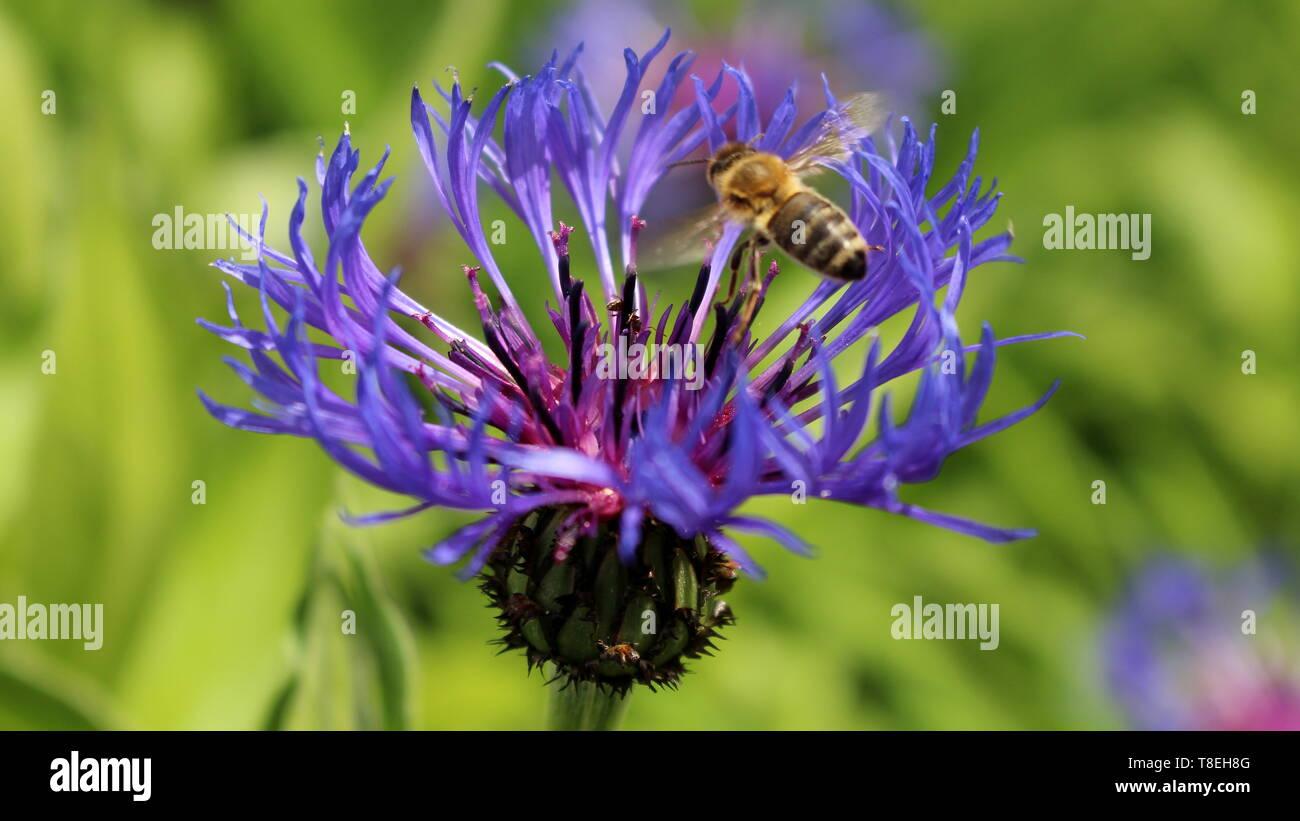 Wiesenklee mit Biene - Stock Image