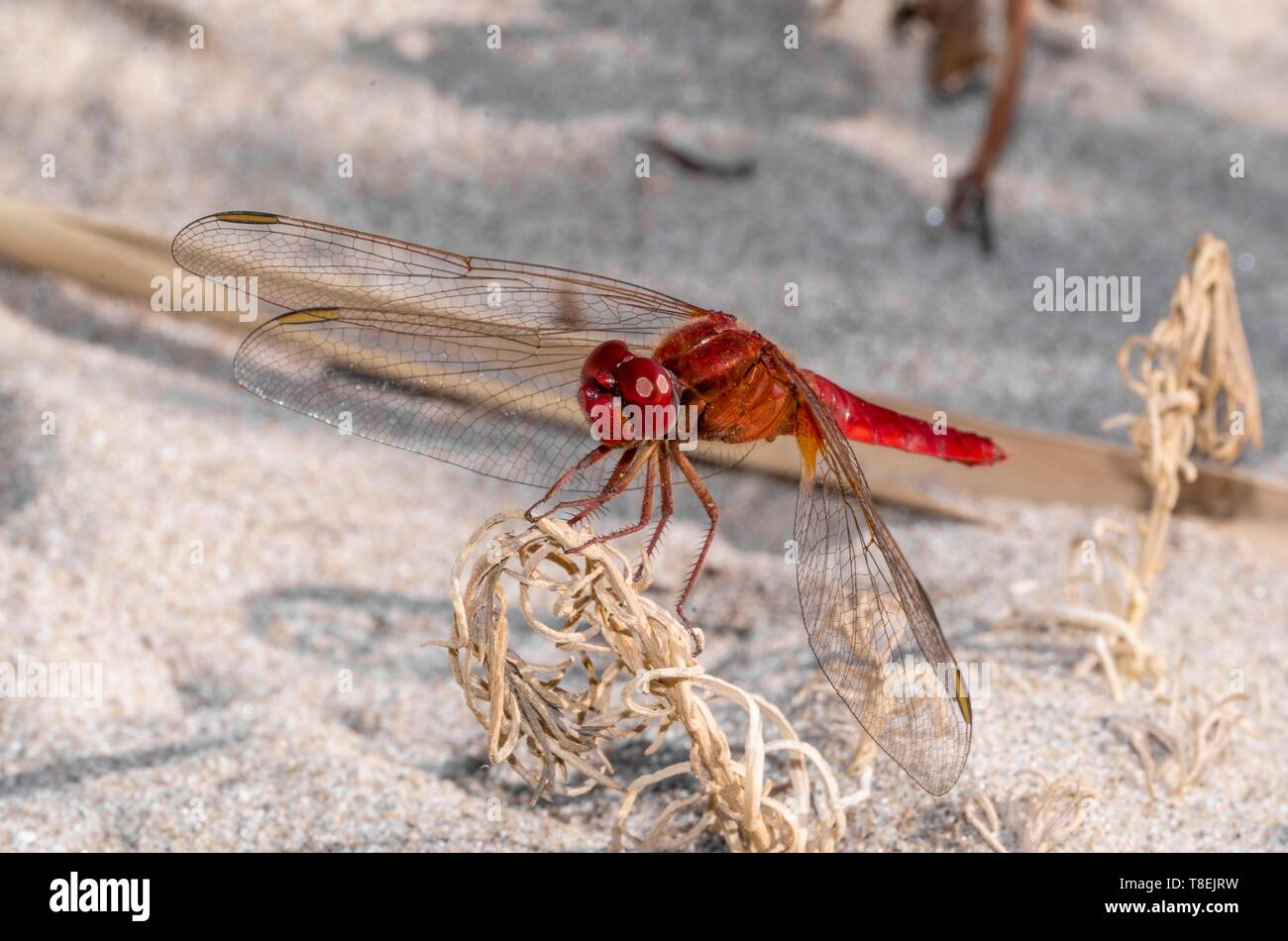 Beautiful red dragonfly on a shrub on the sand Stock Photo