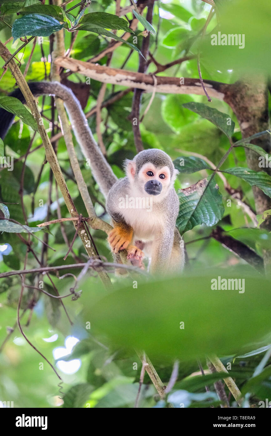A squirrel monkey on a tree in Ecuador - Stock Image