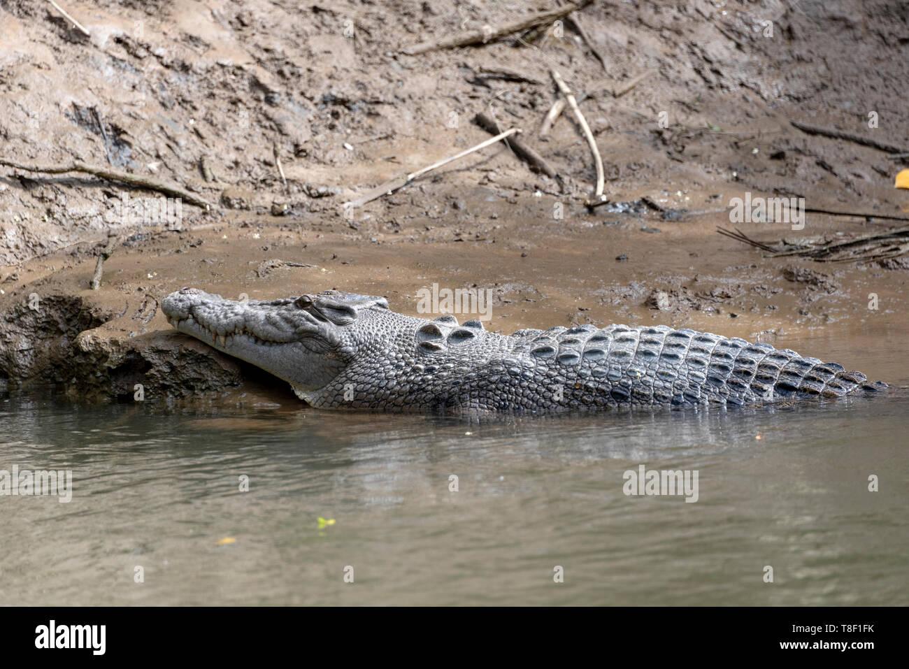 Crocodile in Daintree river, QLD, Australia Stock Photo