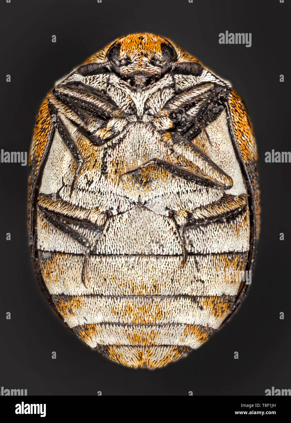 Varied carpet beetle (Anthrenus verbasci) is a 3 mm-long beetle belonging to the family Dermestidae - Stock Image