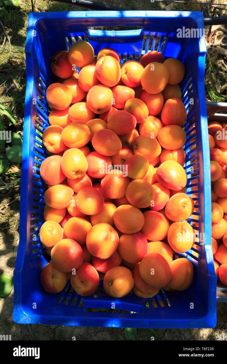 France, Ardeche, Baix, harvesting apricots - Stock Image