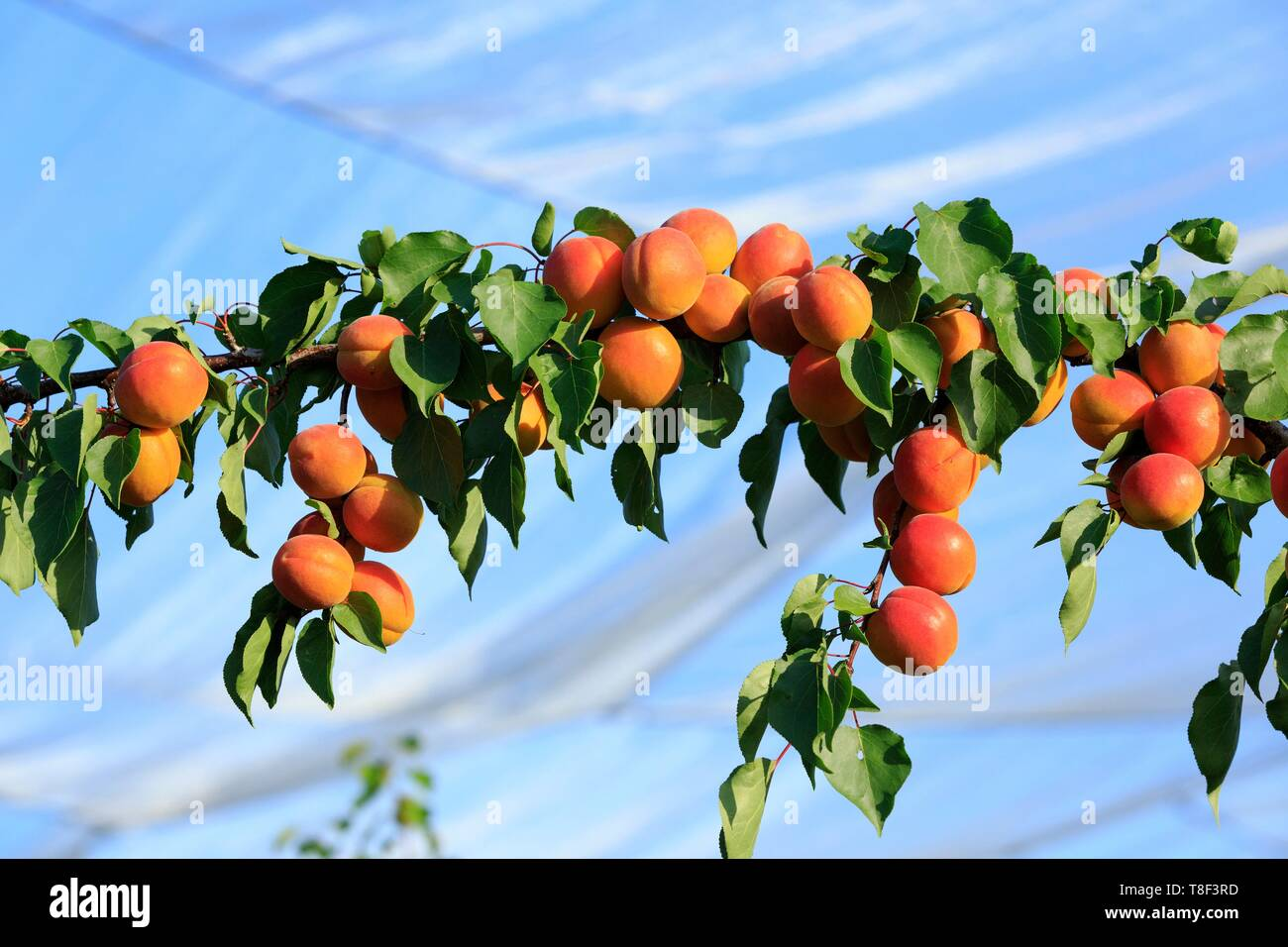 France, Drome, Chanos Curson, apricot harvest, protection nets - Stock Image