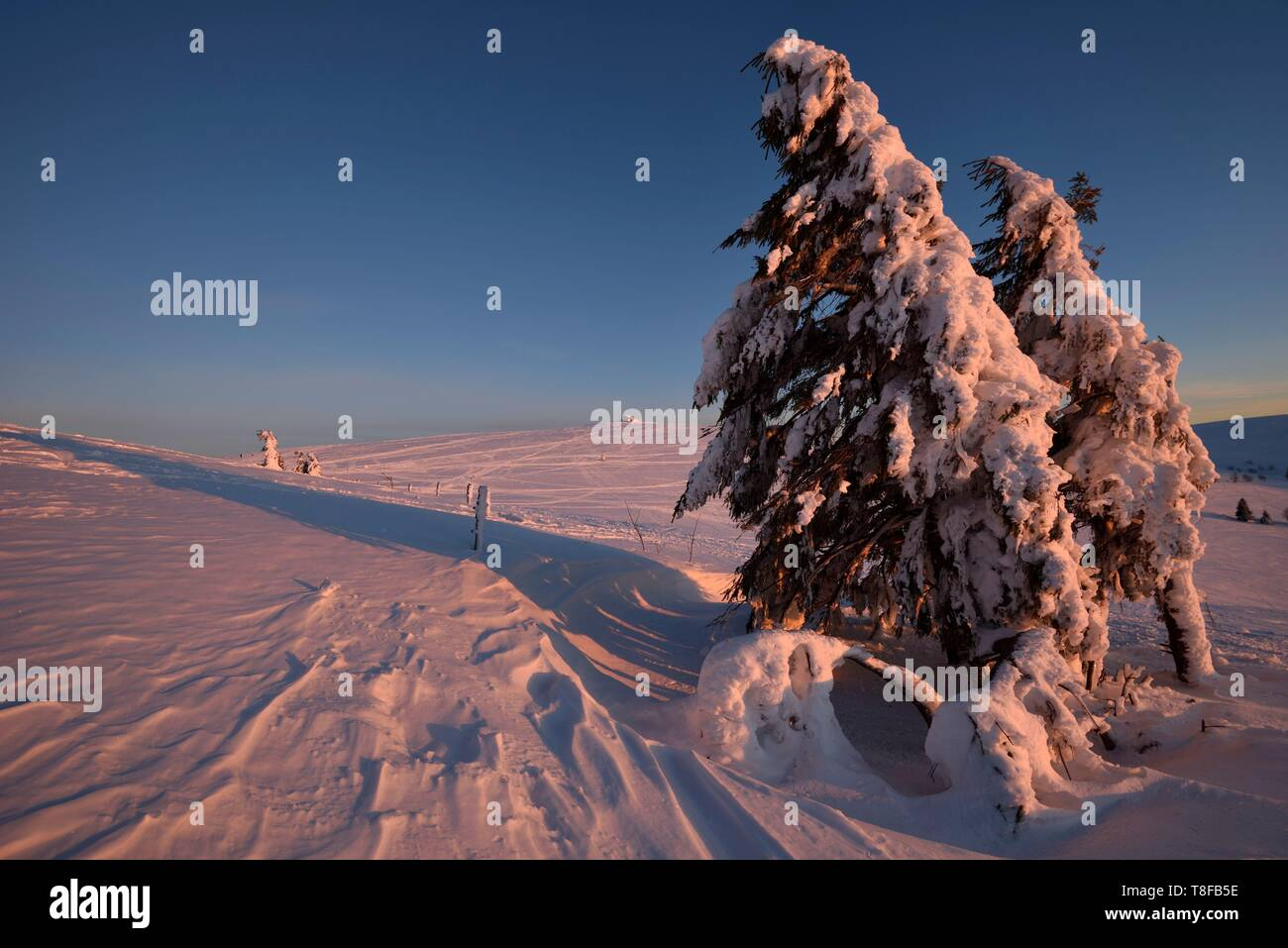 France, Haut Rhin, Hautes Vosges, Le Hohneck (1363 m), summit, spruces (Picea abies), sunset, snow, winter - Stock Image
