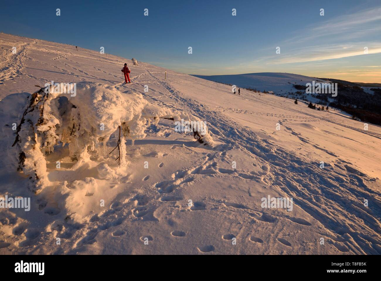 France, Haut Rhin, Hautes Vosges, Le Hohneck (1363 m) summit, spruces (Picea abies) curved by snow and wind, Route des Cretes, Kastelberg, sunset, snow, winter - Stock Image