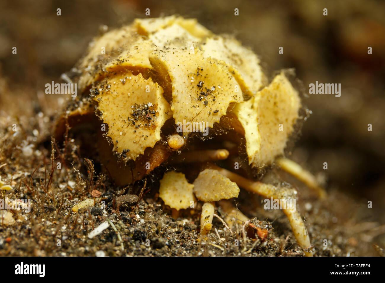 Close up of wild boxer crab, Lybia leptochelis, - Stock Image