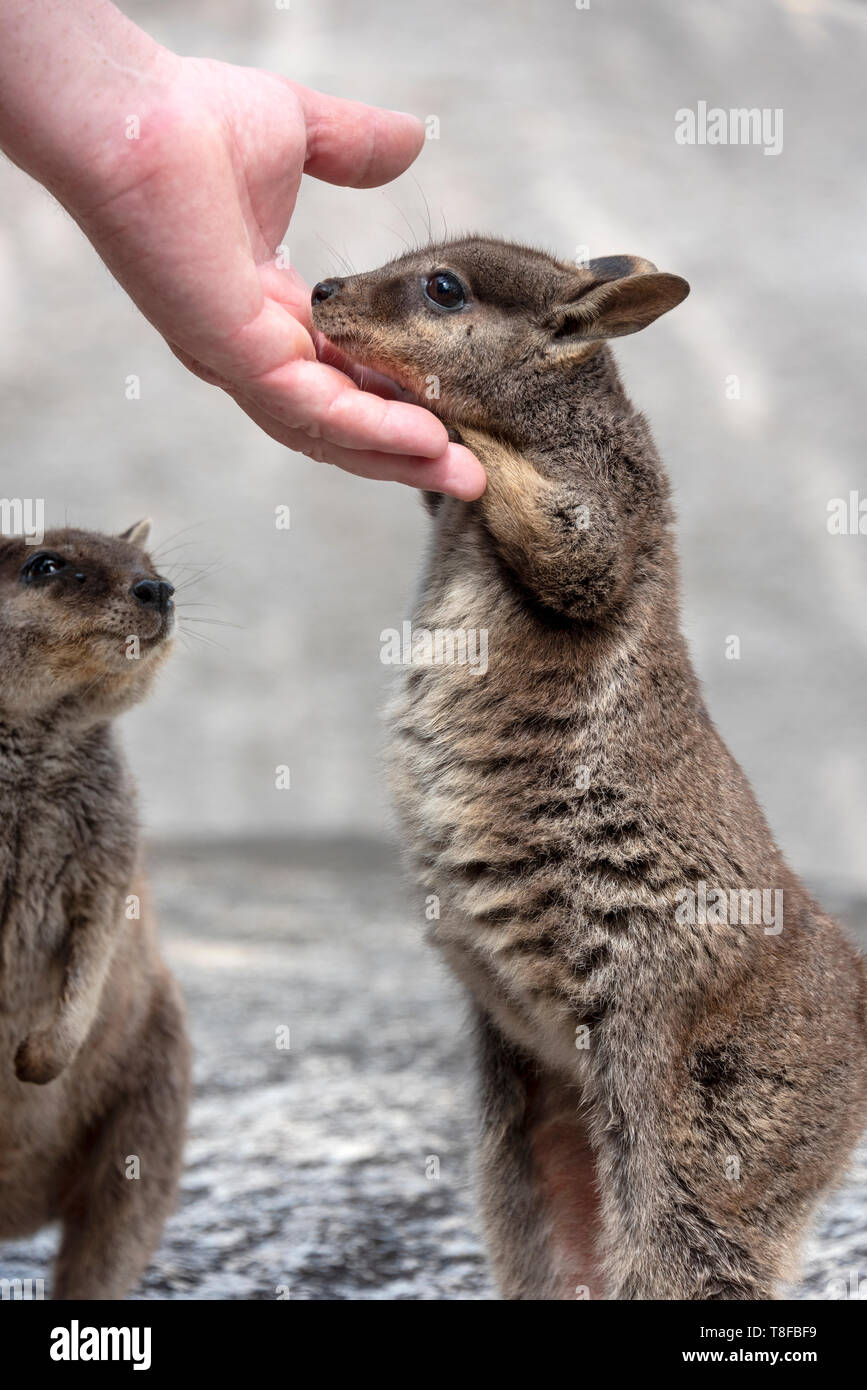 Too cute infant Unadorned rock wallaby Stock Photo