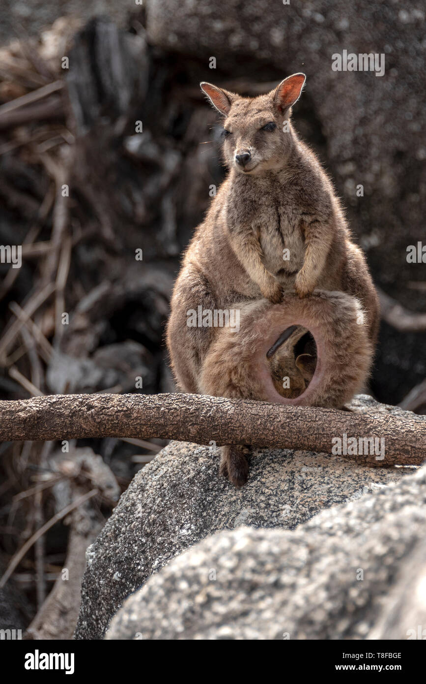 Dedicated unadorned rock wallaby mother and baby Stock Photo