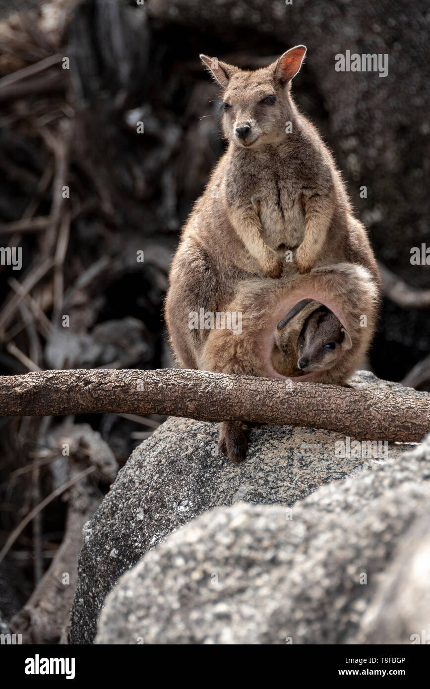 Unadorned rock wallaby with joey in her pouch Stock Photo