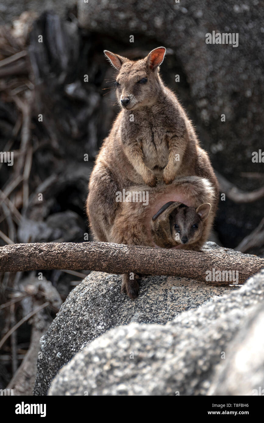 Wallaby mother on the rocks with joey in pouch Stock Photo